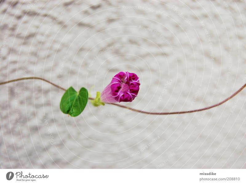 girlande Umwelt Natur Pflanze Frühling Sommer Klima Klimawandel Wärme Dürre Blume Blatt Blüte Ranke Winde Gartenwicke Kletterpflanzen Blühend verblüht