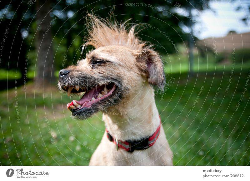 echter Punk Stil Haare & Frisuren Haustier Hund 1 Tier authentisch außergewöhnlich Coolness frech frei Fröhlichkeit trendy einzigartig braun grün rot Farbfoto