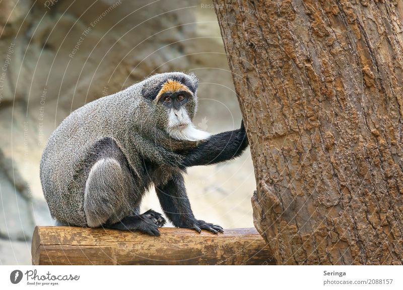 Hab ihn !!!!!!!!!!!!!!!! Baum Tier Wildtier genießen beobachten berühren festhalten Fell Tiergesicht Zoo Affen hocken Krallen