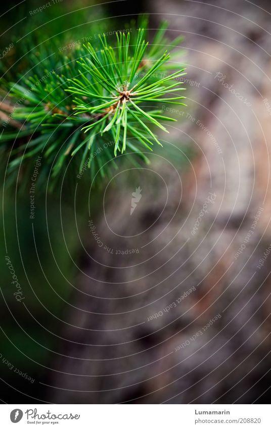 grüner Zweig Umwelt Natur Pflanze Baum Grünpflanze nah natürlich Spitze stachelig braun Leben einzigartig Wachstum Nadelbaum Kiefer Detailaufnahme Farbfoto