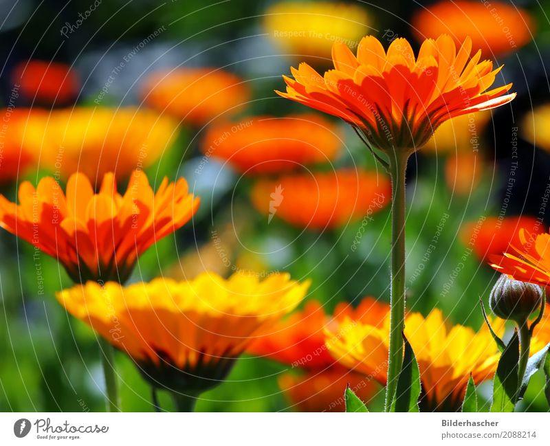 Ringelblumen marigold Gartenpflanzen Heilpflanzen gartenringelblume Blütenblatt Blumenwiese Alternativmedizin Kissen-Primel orange Sommerblumen