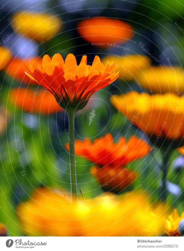 Calendula officinalis Ringelblume Gartenpflanzen Heilpflanzen Blütenstauden Blütenblatt Blumenwiese Alternativmedizin orange Sommerblumen Korbblütengewächs