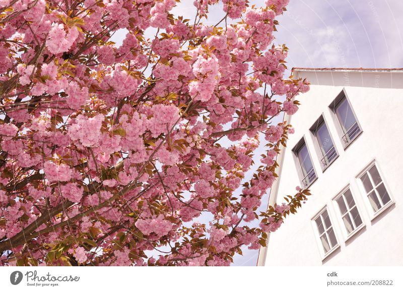 rosarot Umwelt Natur Pflanze Himmel Frühling Schönes Wetter Baum Blüte Menschenleer Haus Bauwerk Architektur Mauer Wand Fassade Fenster Dach ästhetisch frisch