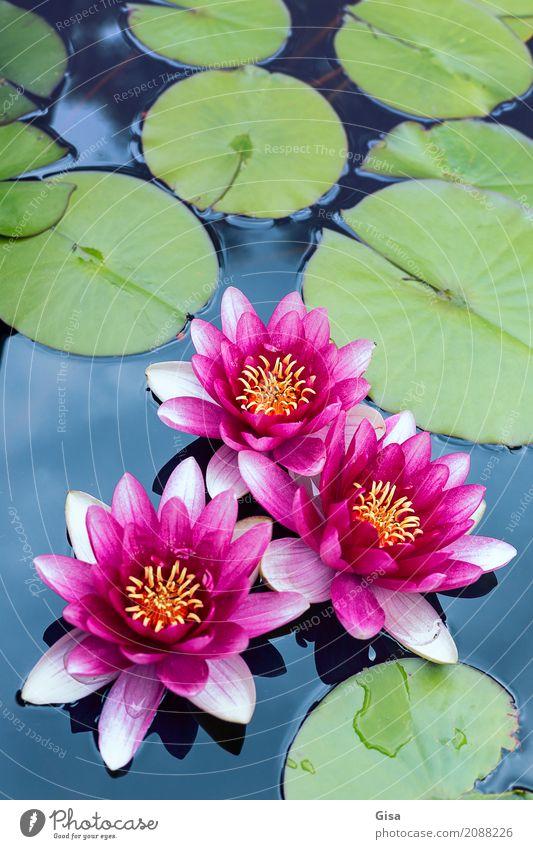 Meditierende Teichrosengruppe in pink Natur Pflanze Blatt Garten Wasser rosa Romantik Ehrlichkeit authentisch Weisheit Reinheit Hoffnung träumen einzigartig