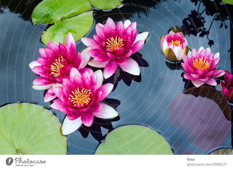 Meditierende Teichrosen in pink Natur Pflanze Sommer schön Wasser Blatt Umwelt Garten rosa Hoffnung Wellness Glaube Euphorie Willensstärke Sinnesorgane