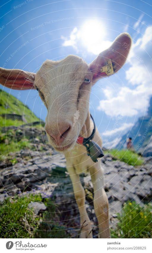 hello! Ferien & Urlaub & Reisen Sommerurlaub Berge u. Gebirge Natur Tier Himmel Sonne Sonnenlicht Schönes Wetter Alpen Nutztier Tiergesicht Ziegen 1 Blick