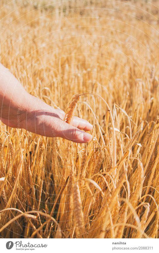 Hand berühren Weizen Lebensmittel Milcherzeugnisse Getreide Landwirtschaft Forstwirtschaft Mensch feminin Weiblicher Senior Frau 1 60 und älter Natur Sonne