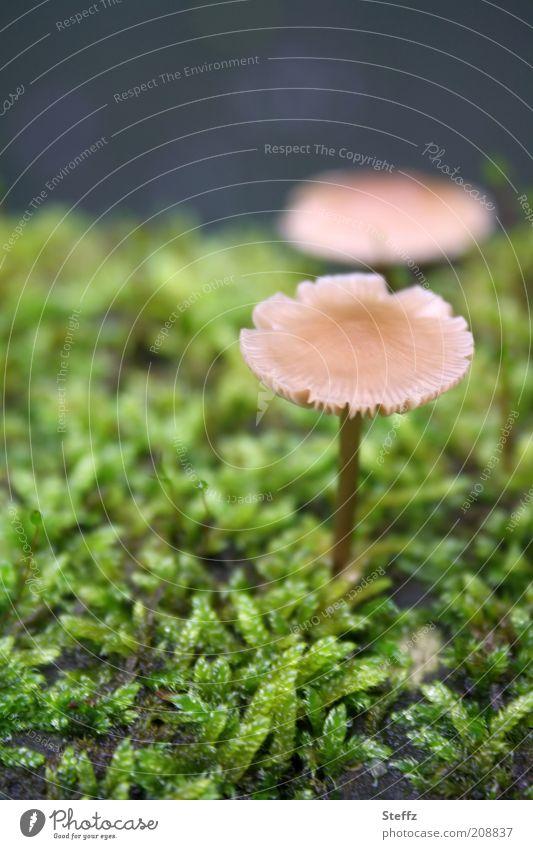 winzige Pilze im Moos Pilzhut Waldboden Wachstum herbstlich Moosteppich klein natürlich Fundstück nah grün dunkelgrün ungenießbar hellbraun Herbstwald beige