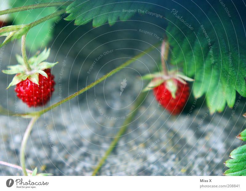 Beerchen Lebensmittel Frucht Ernährung Vegetarische Ernährung Pflanze Nutzpflanze Wildpflanze Wachstum klein lecker süß Wald-Erdbeere Erdbeeren Beeren Farbfoto