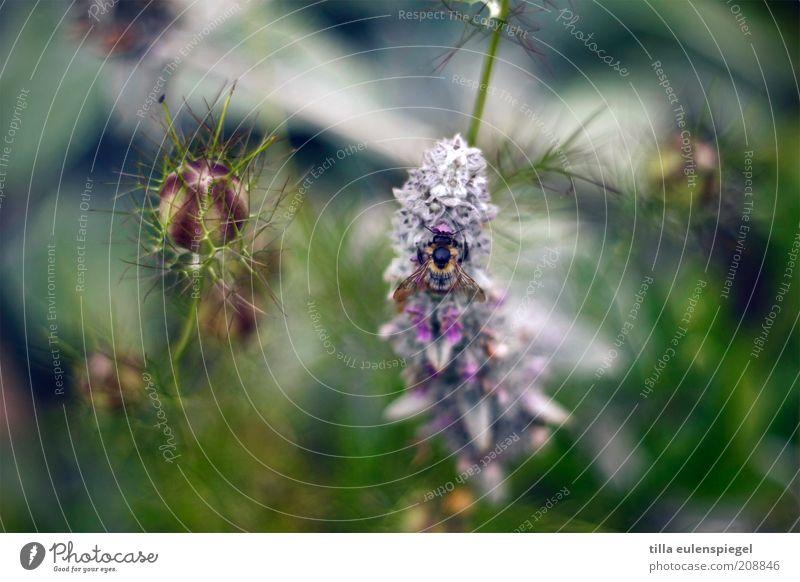 maja Natur schön Pflanze Blume Sommer Tier Farbe Umwelt Blüte natürlich wild Insekt Biene Blühend Sammlung exotisch