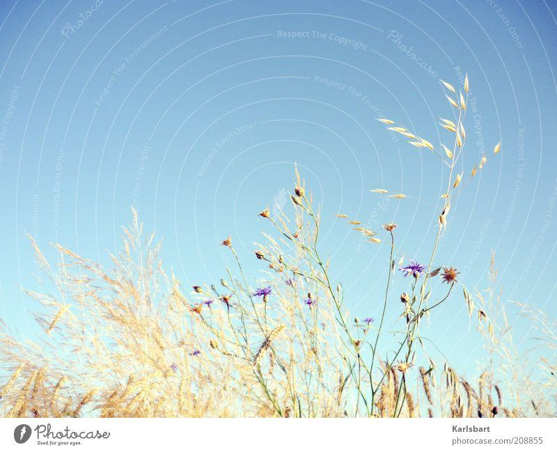 weidenkraut. Sommer Umwelt Natur Himmel Wolkenloser Himmel Pflanze Gras Sträucher Nutzpflanze Kornfeld Farbfoto mehrfarbig Außenaufnahme Nahaufnahme