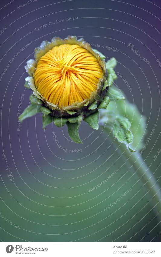 Before Sunrise Pflanze Sommer Blume Blatt Blüte Frühling Glück ästhetisch Beginn Zukunft Hoffnung Sonnenblume