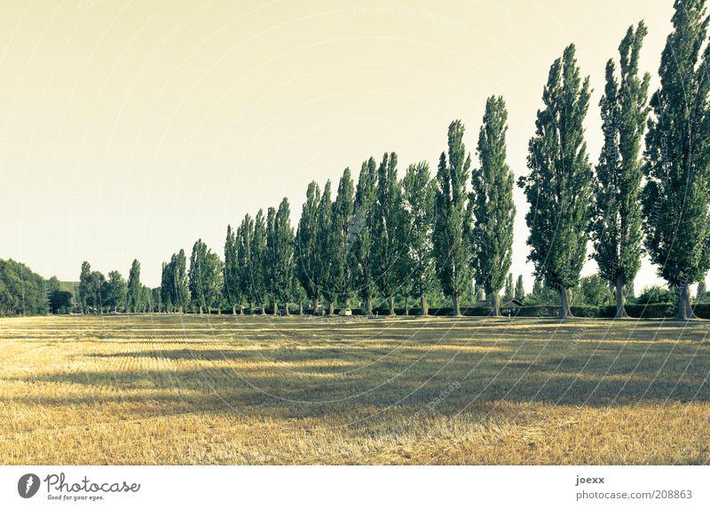 Toskanische Ordnung Natur Himmel Baum grün Pflanze Sommer ruhig gelb Landschaft Feld gold Reihe Schönes Wetter Italien Toskana Weitwinkel