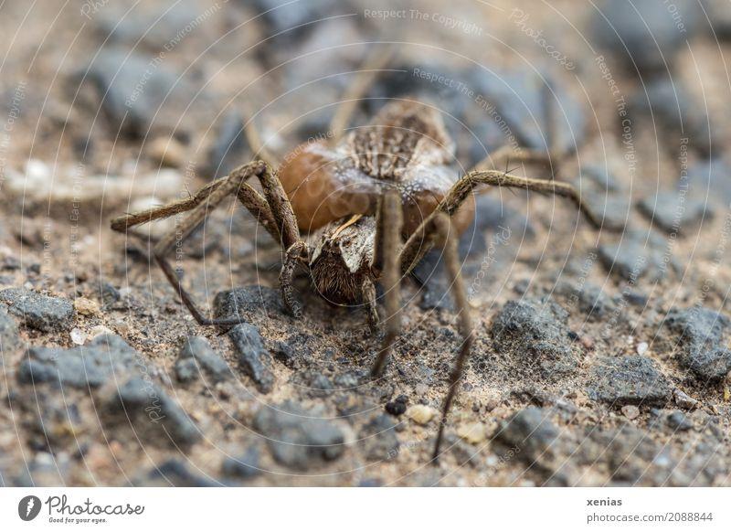 Wolfspinne mit Eikokon auf steinigen Untergrund Spinne Webspinne Stein feminin braun schwarz Brutpflege Lycosidae Spinnenbeine Außenaufnahme
