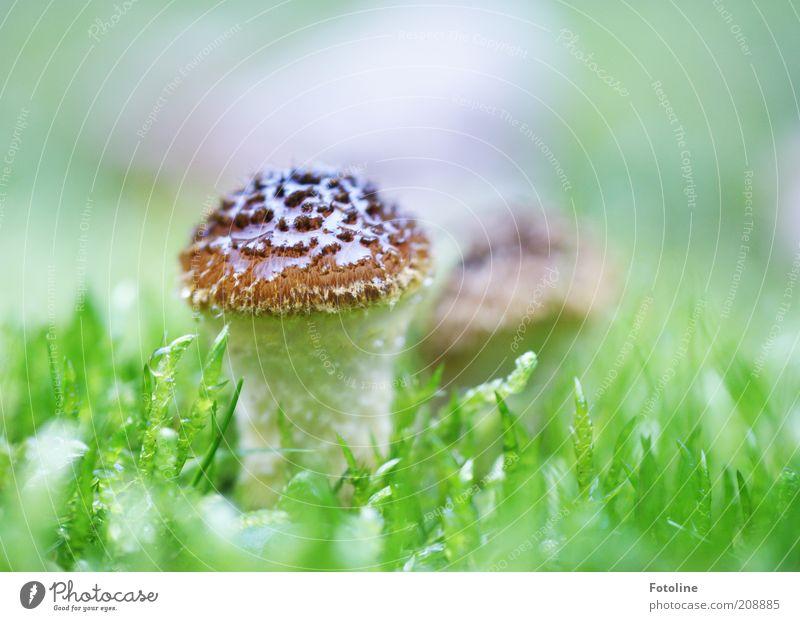 Pilz Umwelt Natur Pflanze Urelemente Erde Sommer Wiese hell nass natürlich braun grün weiß Giftpilz Farbfoto mehrfarbig Außenaufnahme Textfreiraum oben Tag