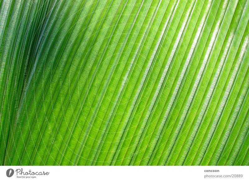 Struktur pur Palmenwedel Genauigkeit grün schwarz Verlauf Muster glänzend Singapore Detailaufnahme Strukturen & Formen Natur