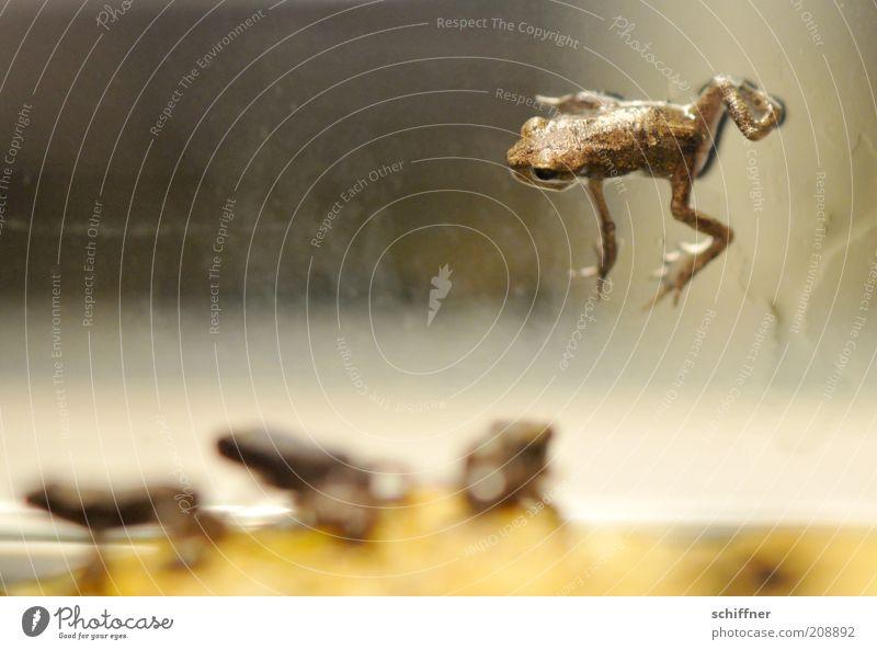 D'Artagnan und die drei Musketiere Tier Frosch 4 Tiergruppe Tierjunges hocken klein ausgeschlossen einzeln Einzelgänger Blick Nahaufnahme Nachkommen dominant
