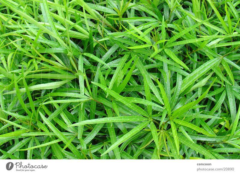 Grünzeug grün Pflanze Blatt dünn Singapore intensiv Blattgrün