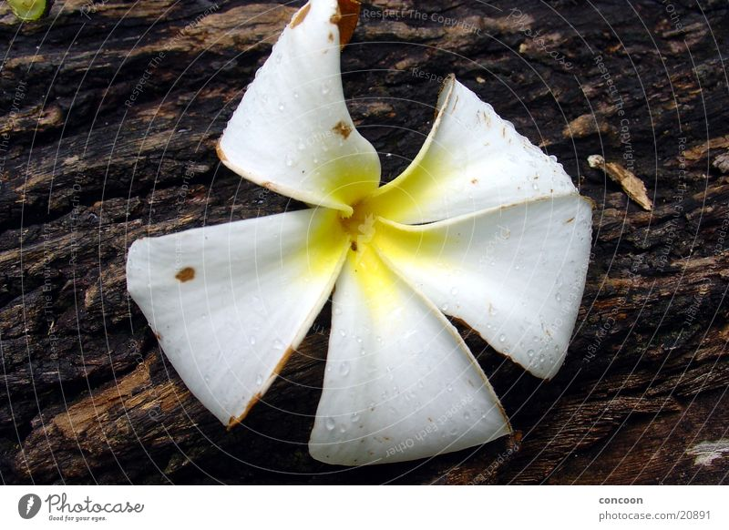 Was ist das für eine Blüte? Blume weiß gelb Holz Baum Gummi