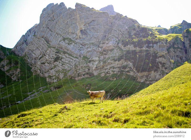Für alle Stadtkinder: eine Kuh! Natur Himmel Sommer Ferien & Urlaub & Reisen ruhig Erholung Gras Berge u. Gebirge Landschaft Zufriedenheit wandern Umwelt Felsen
