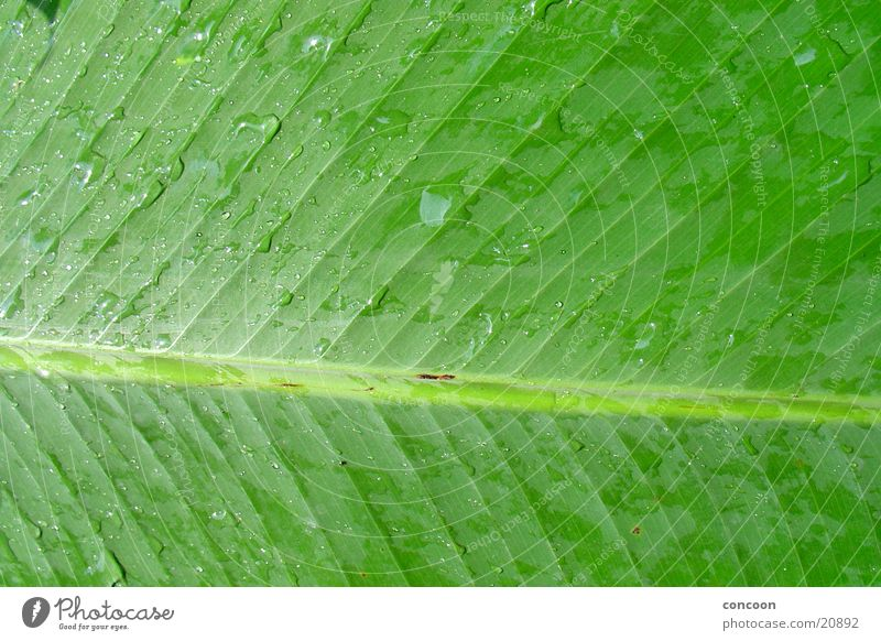 Natur pur I grün Blatt Regen Wassertropfen nass Asien feucht Blattgrün Singapore Gartenbau Botanischer Garten