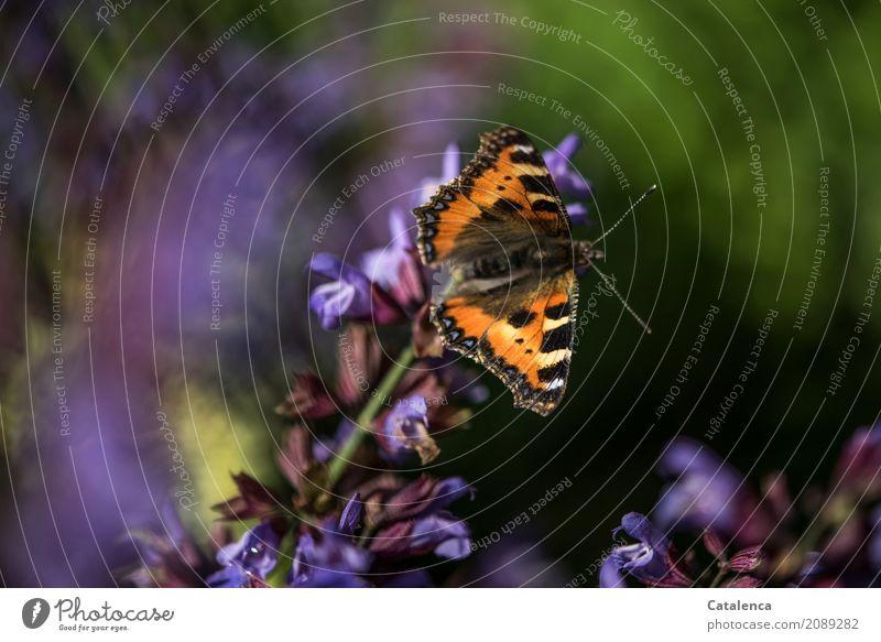 Kleiner Fuchs Natur Pflanze Sommer grün Tier schwarz Leben gelb Blüte Garten braun fliegen Design ästhetisch Erfolg Schönes Wetter