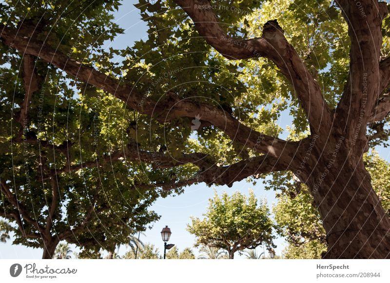 Platanisch Baum Platane grün Laterne Baumstamm Ast Baumrinde Farbfoto Gedeckte Farben Außenaufnahme Menschenleer Licht Kontrast Starke Tiefenschärfe