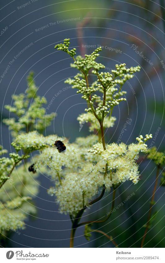 Bumblebee collecting pollen on white fluffy flower. Umwelt Natur Landschaft Pflanze Wasser Sommer Blume Gras Sträucher Blüte Wildpflanze Ebereschen-Fiederspiere