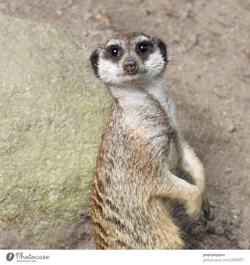 wie heißen eigentlich die erdmännchen-weibchen? Tier Wildtier Tiergesicht Krallen Pfote Zoo 1 füttern Blick frech listig braun grau Farbfoto Gedeckte Farben