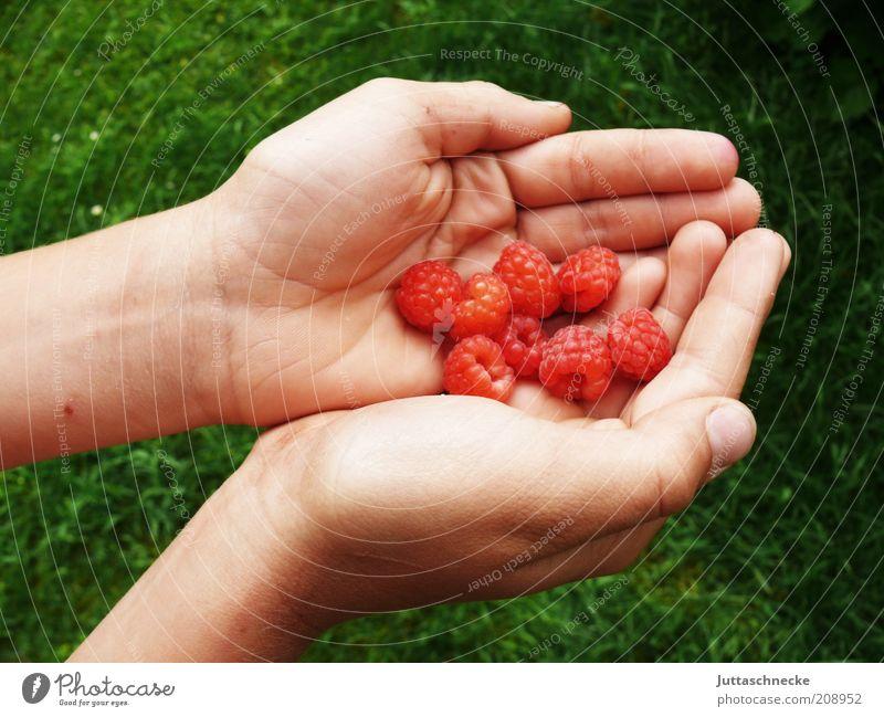 Lauter kleine Gordons Lebensmittel Frucht Himbeeren Bioprodukte Vegetarische Ernährung Diät Hand Finger Natur Sommer Nutzpflanze festhalten saftig süß rot