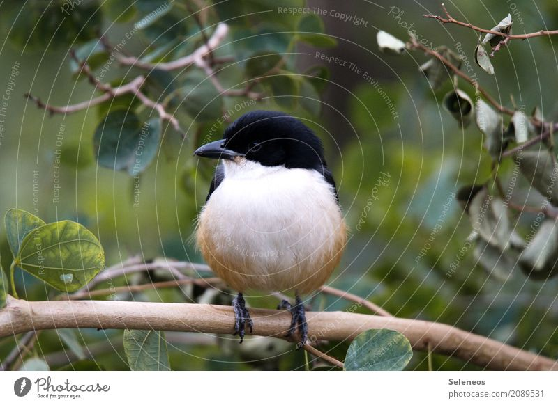 Southern Bou Bou Natur Sommer Baum Blatt Tier Umwelt Herbst natürlich Garten Freiheit Vogel Park Wildtier Ast nah Tiergesicht
