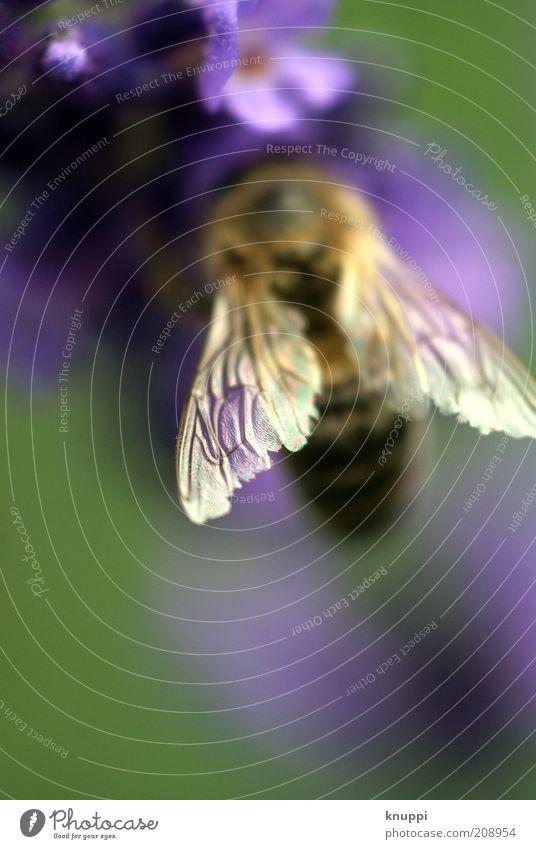 """""""Luftaufnahme"""" Honigbiene Umwelt Natur Pflanze Tier Frühling Sommer Blüte Lavendel Nutztier Wildtier Biene 1 grün violett Farbfoto mehrfarbig Außenaufnahme"""