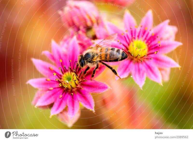 Hauswurz mit Biene schön Pflanze Blüte rosa rot Sempervivum Insekt Sempervivum tectorum Lebewesen Dickblattgewächse Nahaufnahme Makroaufnahme