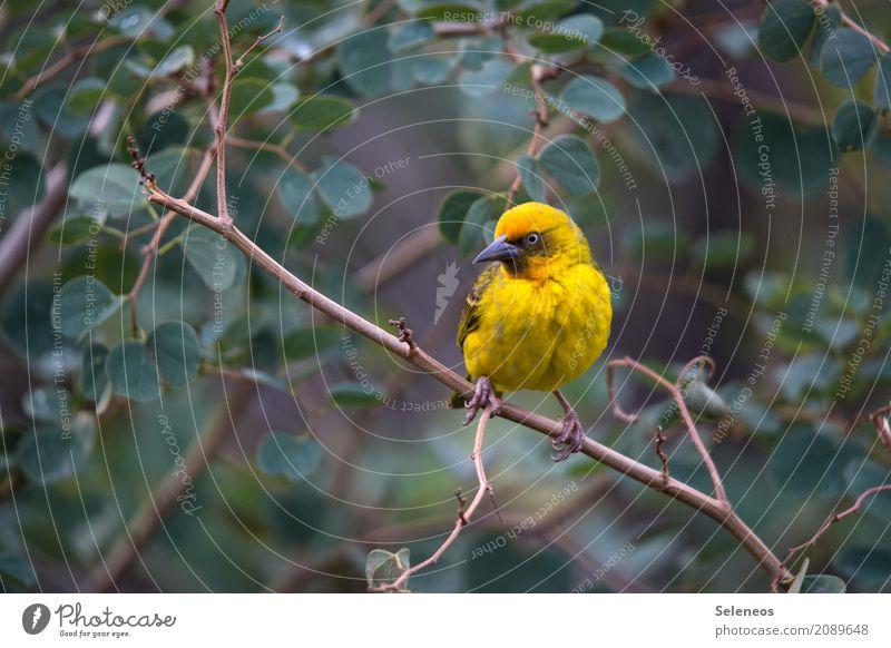 Skepsis Ferne Freiheit Umwelt Natur Frühling Sommer Pflanze Baum Sträucher Blatt Geäst Tier Wildtier Vogel Tiergesicht Webervogel 1 beobachten frei klein nah