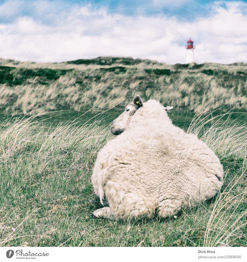 Lister Schaf Strand Meer Insel Umwelt Natur Himmel Wolken Gras Grünpflanze Wildpflanze Wiese Küste Nordsee Tier Nutztier 1 maritim natürlich weich Tourismus