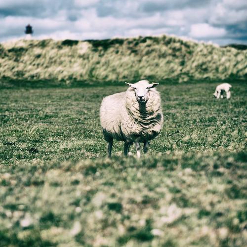 Schaf in List / Sylt Ferien & Urlaub & Reisen Tourismus Freiheit Sommerurlaub Natur Tier Wiese Küste Seeufer Nordsee kuschlig natürlich Neugier niedlich