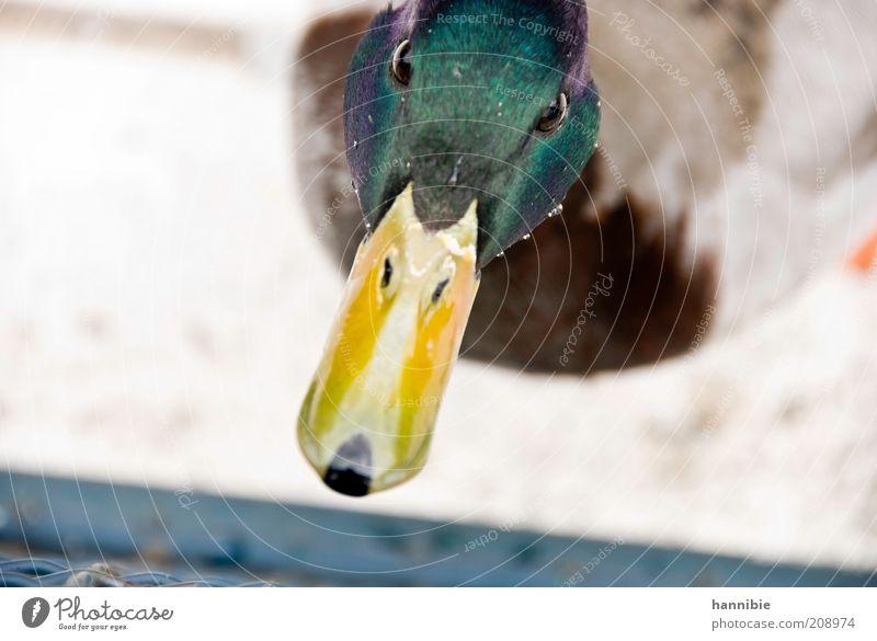 wie ihm der schnabel gewachsen ist... grün Tier Farbe Auge gelb Vogel Wassertropfen Neugier Tiergesicht Ente Interesse Schnabel Misstrauen Erpel Entenvögel