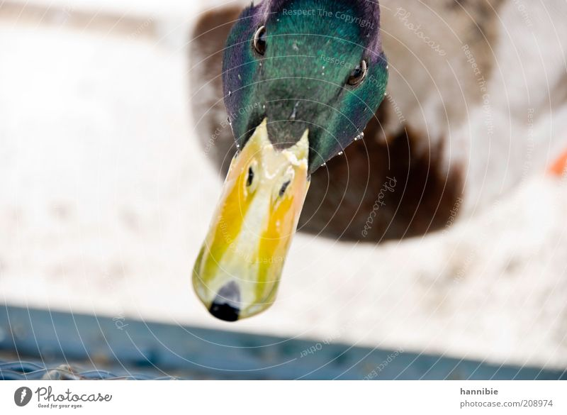 wie ihm der schnabel gewachsen ist... grün Tier Farbe Auge gelb Vogel Wassertropfen Neugier Tiergesicht Ente Interesse Schnabel Misstrauen Erpel Entenvögel Wasser