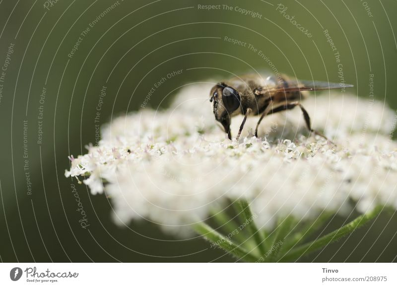verbohrt Natur Pflanze Tier Frühling Sommer Blüte Nutzpflanze Wildpflanze Biene Flügel 1 grün Ernährung saugen Facettenauge Insekt Gewöhnliche Schafgarbe