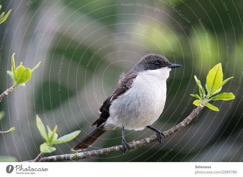 Südlicher Fiskalwürger Natur Pflanze Baum Blatt Tier Ferne Wald Umwelt Frühling natürlich Garten Freiheit Vogel Ausflug Park Wildtier