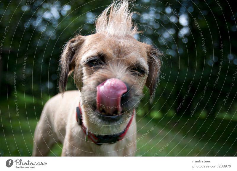 Pino`s Schleckermaul Natur Sommer Park brünett Punk Haustier Hund 1 Tier Reinigen rebellisch braun Farbfoto Außenaufnahme Tag Tierporträt Blick in die Kamera