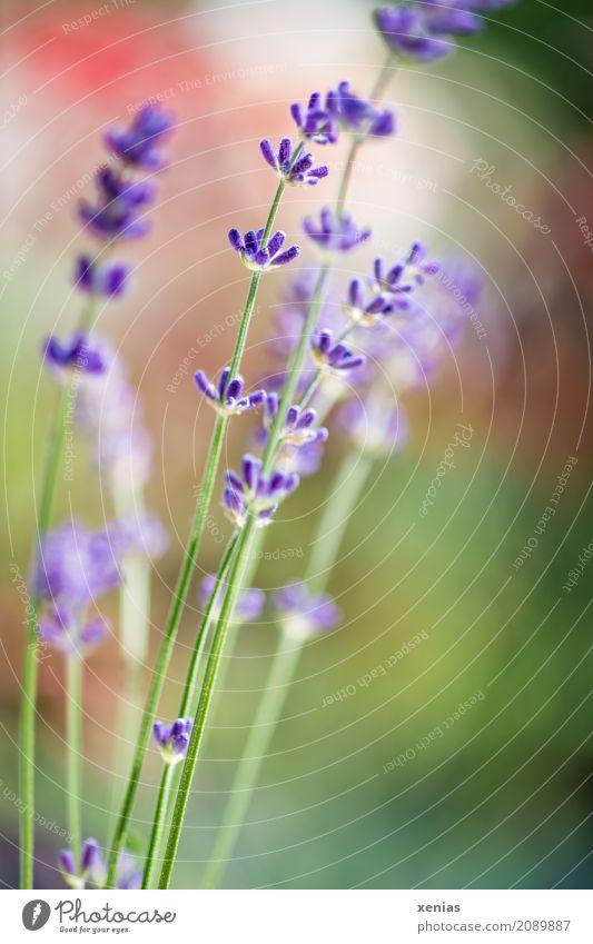 Violetter Lavendel vor unscharfem Hintergrund mit Grün und Rot Frühling Sommer Pflanze Blume Blüte Garten Park Duft grün violett rot Lavandula angustifolia