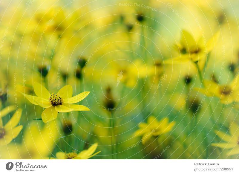 zartgelb Natur Pflanze grün schön Sommer Blume Landschaft Freude Umwelt Blüte Wiese Denken Stimmung träumen Zufriedenheit