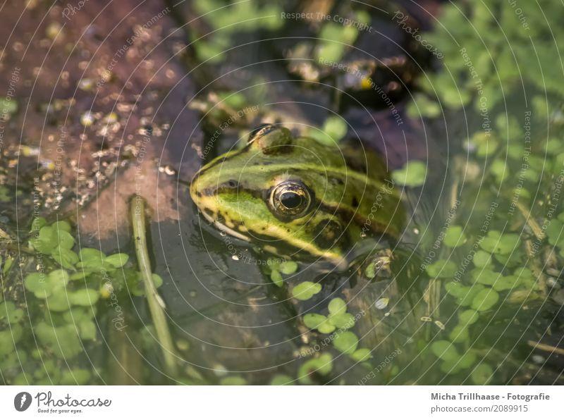 Frosch im Wasser Natur Pflanze grün Sonne Tier schwarz Umwelt natürlich Stein See orange leuchten glänzend Wildtier Schönes Wetter