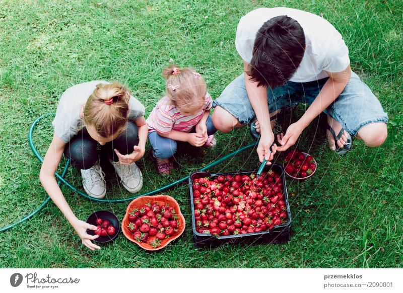 Geschwister, die Erdbeeren frisch ausgewählt in einem Garten waschen Frucht Sommer Kind Mädchen Junge Familie & Verwandtschaft 3 Mensch Natur natürlich oben