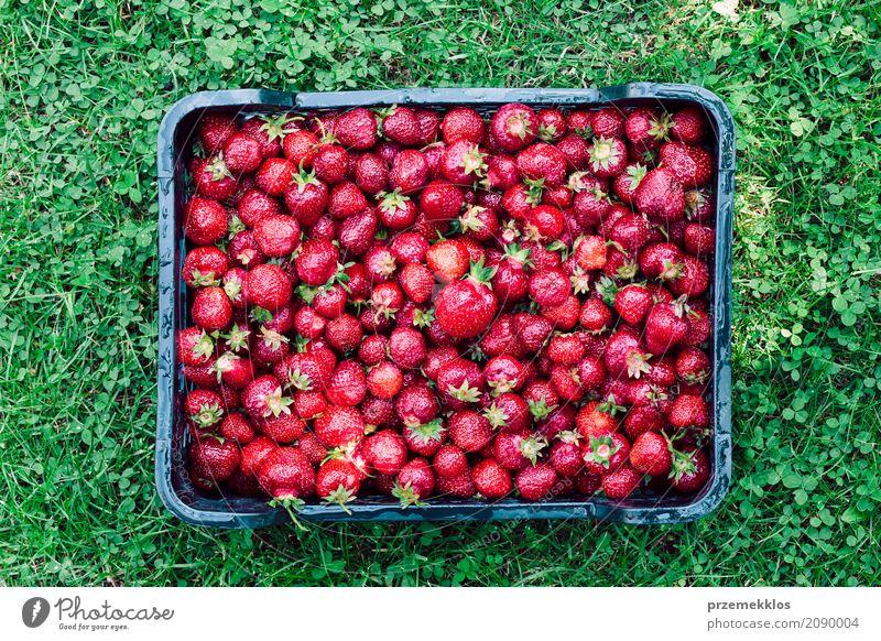 Obenliegender Schuss von frisch ausgewählten Erdbeeren in einem Kasten Lebensmittel Frucht Sommer Garten Natur natürlich oben saftig grün rot Beeren Bauernhof