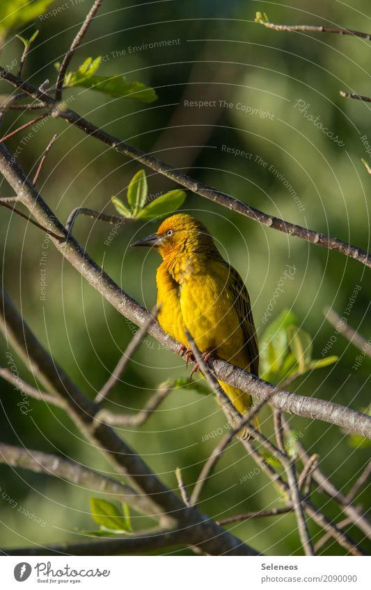 im goldenen Licht Ferne Freiheit Umwelt Natur Frühling Schönes Wetter Pflanze Baum Blatt Garten Park Tier Wildtier Vogel Tiergesicht Webervogel 1 natürlich