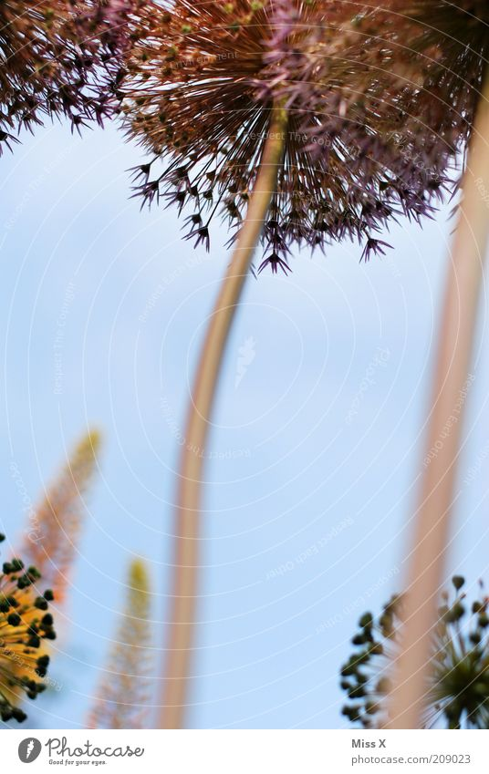 high Natur Blume Pflanze Sommer Blüte hoch Wachstum mehrere rund außergewöhnlich Stengel Blühend Duft Samen gigantisch