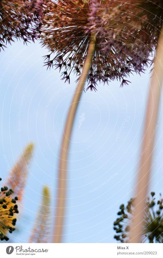 high Sommer Pflanze Blume Blüte Blühend Wachstum Duft gigantisch hoch Natur Stengel Farbfoto Außenaufnahme Nahaufnahme Menschenleer Schwache Tiefenschärfe