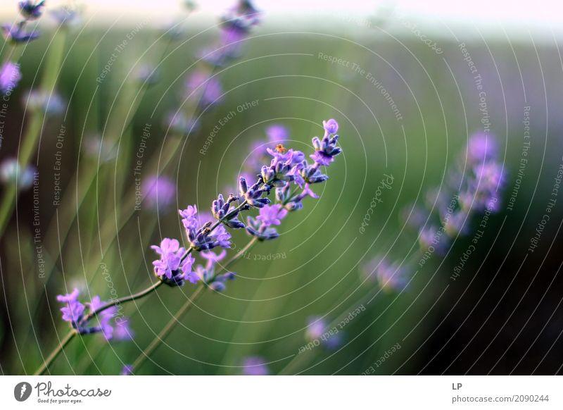 Lavendel bei Sonnenuntergang Natur Pflanze Sommer Blume Erholung ruhig Freude Leben Lifestyle Frühling Gefühle Wiese Stil Garten Design Häusliches Leben